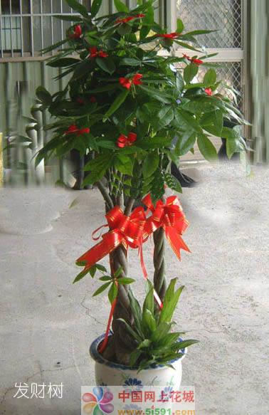 鲜花礼品-发财树4