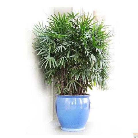 预订鲜花-棕竹