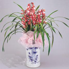 鲜花配送网                                                                                          鲜花网:如意-大花蕙兰