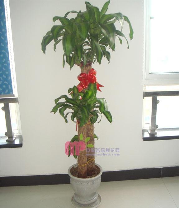 德州绿植花卉-巴西木