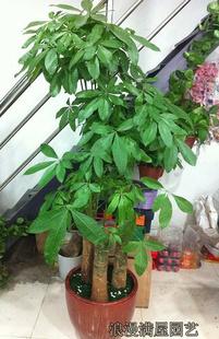 南京六合区绿植:大型发财树