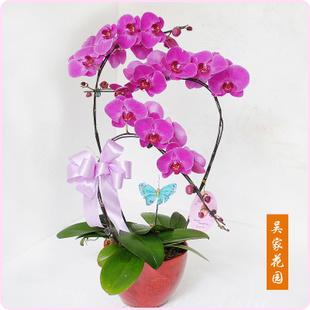 常德绿植花卉-蝴蝶兰
