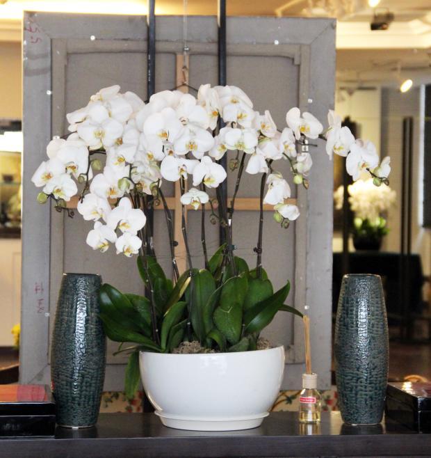 德州绿植花卉-A级白色蝴蝶兰