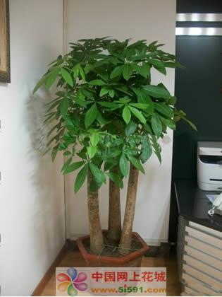 南京六合区绿植:发财树2
