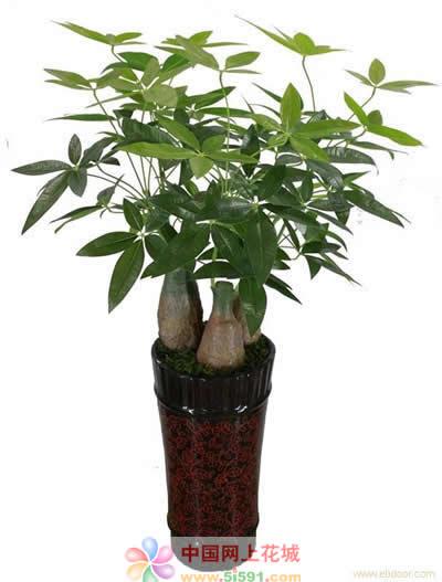 常德绿植花卉-发财树7