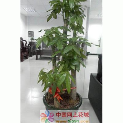 常德绿植花卉-发财树9
