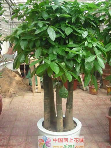 内蒙古绿植花卉-发财树12