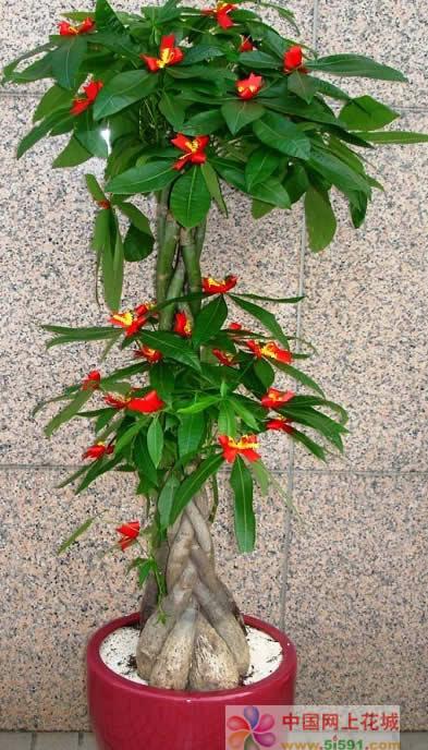 南京六合区绿植:发财树15