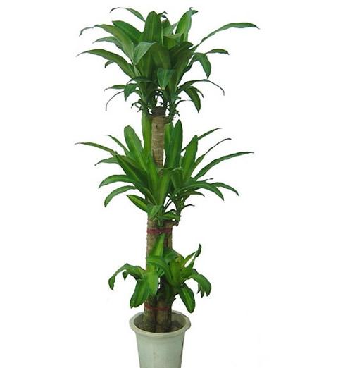 绿植花卉-巴西木