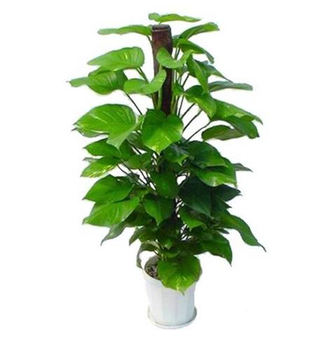 内蒙古绿植花卉-绿萝