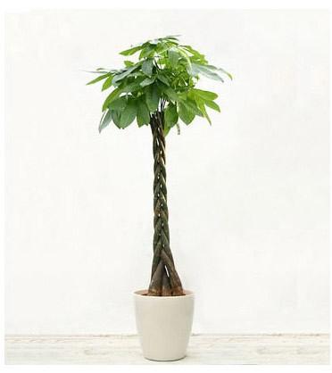 内蒙古绿植花卉-发财树16