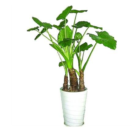 国际绿植花卉-滴水观音