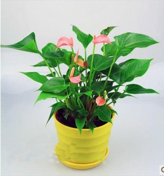 国际绿植盆栽-粉掌