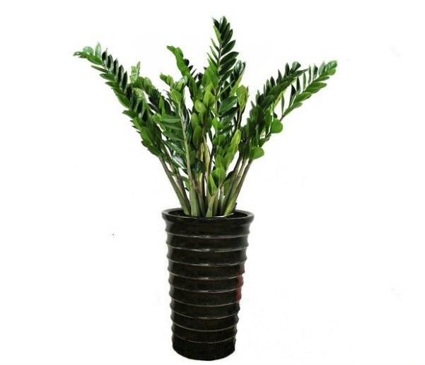 绿植花卉-金钱树2