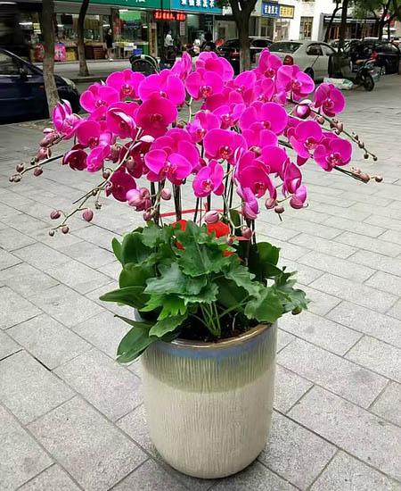 内蒙古绿植花卉-蝴蝶兰