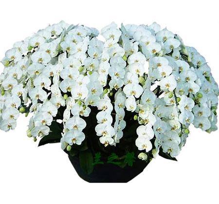 南京六合区绿植:白蝴蝶兰