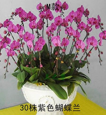 新年礼物                                                                                            鲜花网:蝴蝶兰