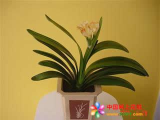 新年礼物                                                                                            鲜花网:君子兰